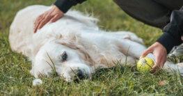 Hund mit Grasmilben liegt im Gras